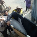 Two stranded dolphins released into Indus River