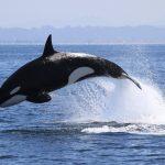 First ever killer whale sighted near Churna Island