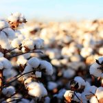 Paucity, demand for better grades keep cotton price in green