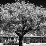 My friend: the tree