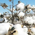 Farmers should prefer BT cotton for cultivation: experts