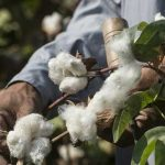 Govt to give incentives to cotton farmers