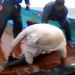 Karachi fishermen release Pan-tropical spotted dolphin caught in fishing net