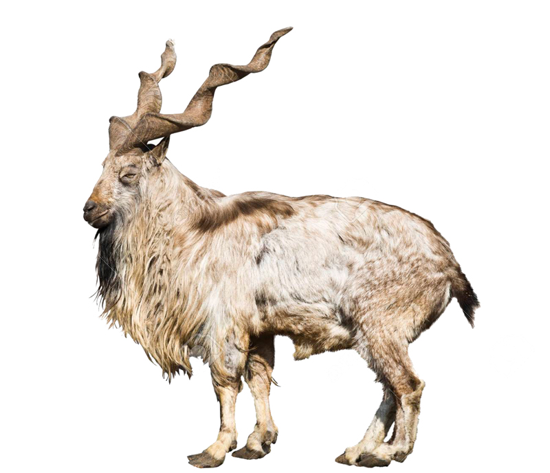 Pakistans National Animal Markhor Faces Extinction Daily Times