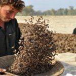 Waziristan traders flay surge in tax on pine nuts