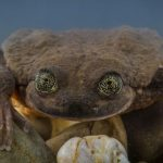 Romeo and Juliet: the last hopes to save Bolivian aquatic frog