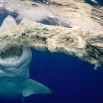 Massive Great White shark takes lunch break in Oahu as divers watch in awe