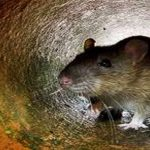 Aussie rodent becomes first 'climate change extinction'
