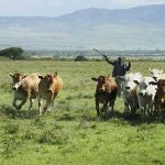 Watch your step: Kenyan herders mark-out disease-free grazing routes