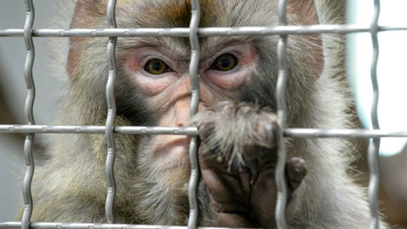 Scientists make smarter monkeys with human genes