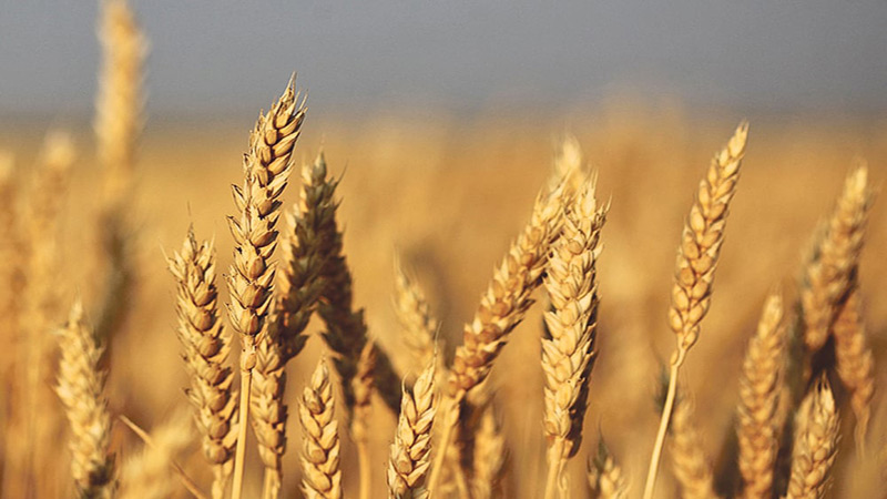 Rains devastate wheat crop, farmers demand relief package