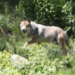 France's 'wolf brigade': Alps guards with licence to kill
