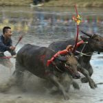 Prized Thai buffaloes show off speed in muddy race