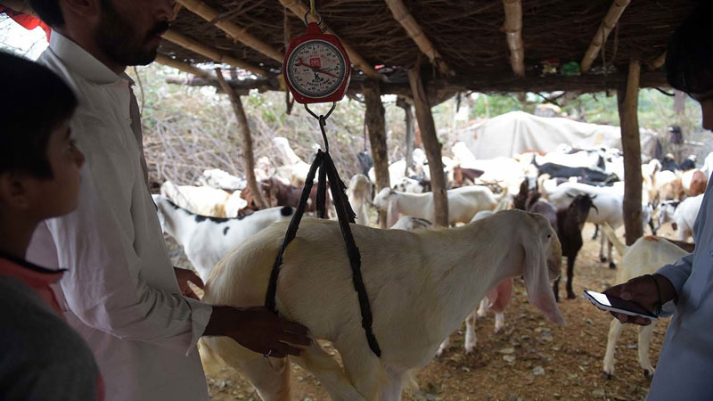 The beauty of Eidul Azha - Daily Times