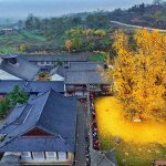 1,400-year-old Gingko Tree sheds golden leaves