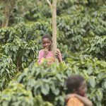 Coffee growers help reforest Mozambique's Mount Gorongosa