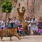 Tigers recused from a notorious zoo died in govt custody