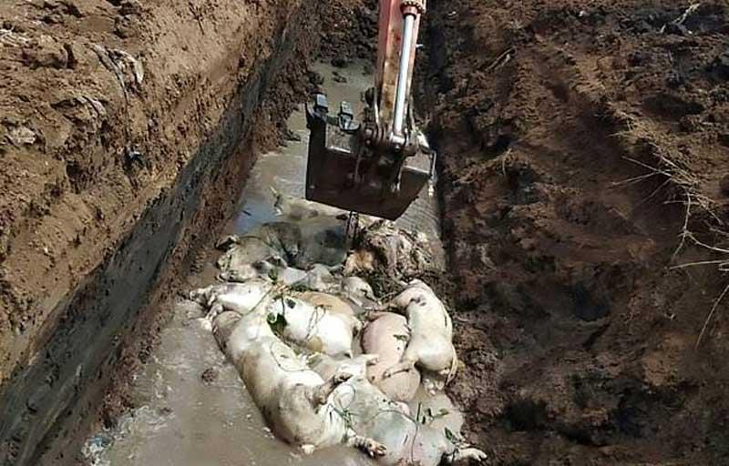 Cholera kills over 27,000 pigs in Indonesia
