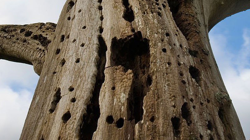 Elm trees are making a comeback in Britain thanks to the development of new breeds