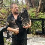 Fires, then floods: How much can a koala bear?