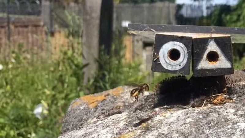 Busy bees: Single mothers inspect other nests before building their own