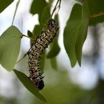 Edible caterpillars become rare in drought-hit Botswana