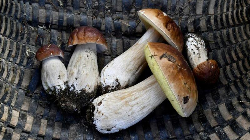 Two Romanians fined in France over huge mushroom haul