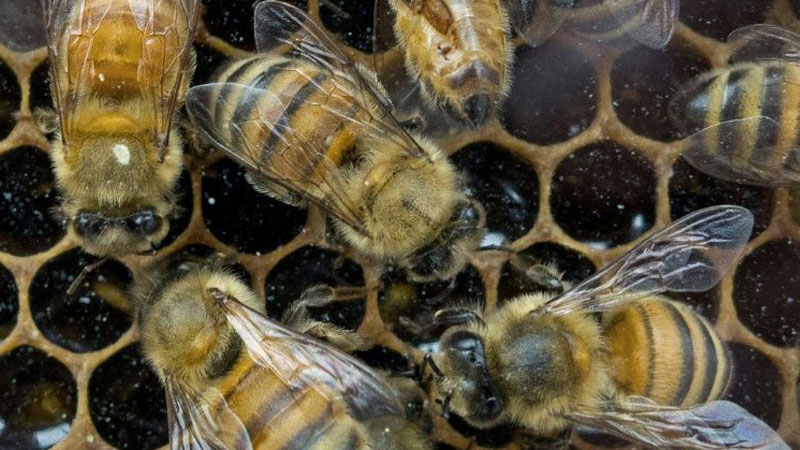 Tiny Dancer: Scientists spy on booty-shaking bees to help conservation