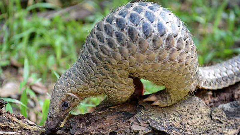 Pangolin identified as a potential link for Coronavirus spread