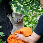 Koalas released back into the wild after Australian bushfires