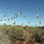 Locust attacks destroy crops on large scale in Sindh, Punjab