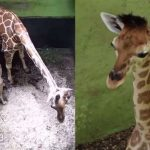 Bali zoo names new born baby giraffe 'corona' amid pandemic outbreak