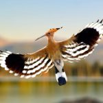 hoopoe-bird-flying