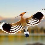 hoopoe-bird-flying