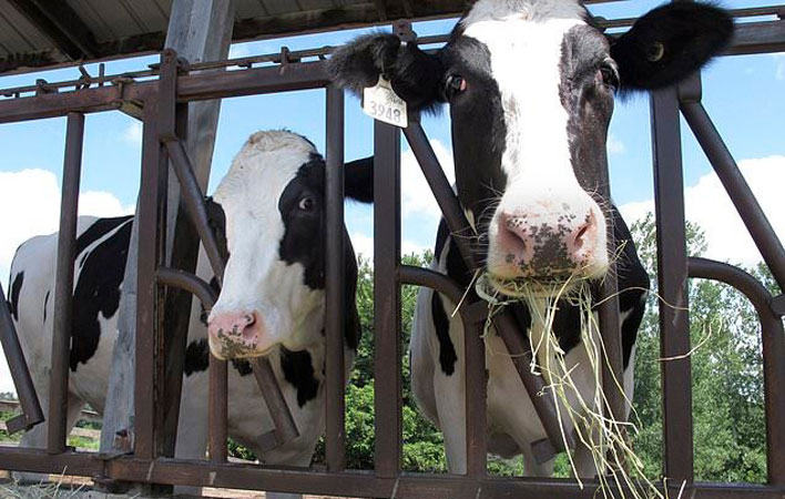 Students, alumni clamor to take care of university's cows