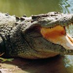 Eight-year-old girl eaten alive by crocodile in Sukkur