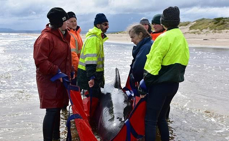 Still no cause for mass pilot whale stranding in Australia