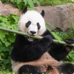 Giant pandas at Calgary Zoo begin journey home to China