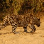 Leopard Sighted for the First Time in Tharpakar, Killed by Locals