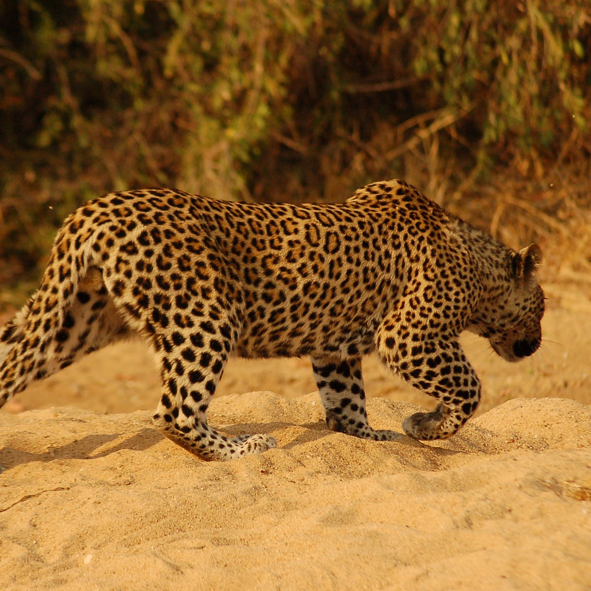 leopard killed in tharparkar