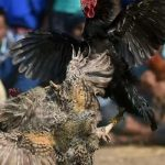 Rooster kills owner with blade in India
