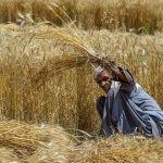 Most labours move to native villages for wheat harvesting