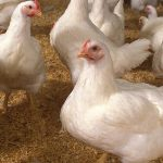 Inquiry reveals cartelization among poultry feed mills to raise prices