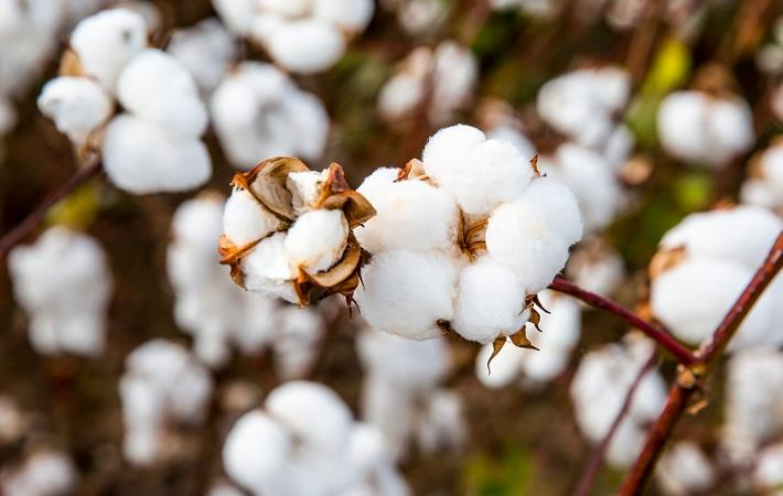 why-pakistan-is-missing-cotton-bale-targets