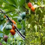 University professor grows different fruits on a single tree